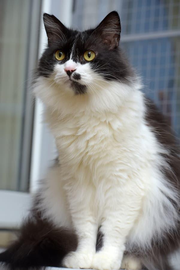 Gatto norvegese lanuginoso in bianco e nero della foresta fotografia stock libera da diritti