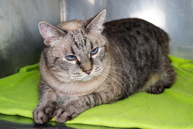 Gatto obeso alla clinica veterinaria nella gabbia metallica fotografia stock