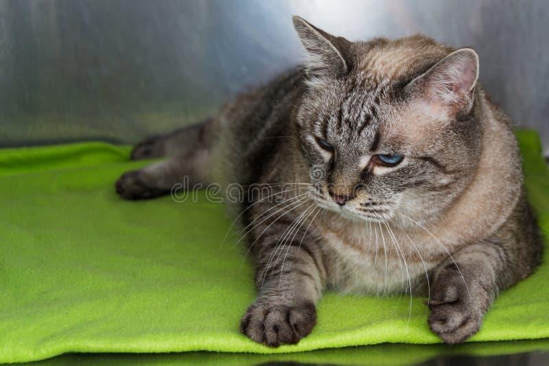 Gatto obeso alla clinica veterinaria nella gabbia metallica fotografie stock