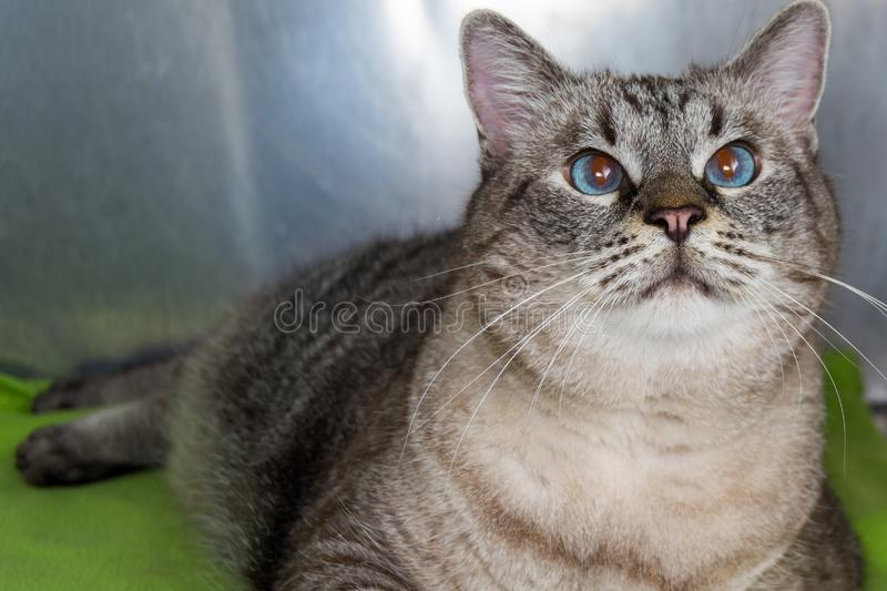 Gatto obeso alla clinica veterinaria nella gabbia metallica immagini stock libere da diritti