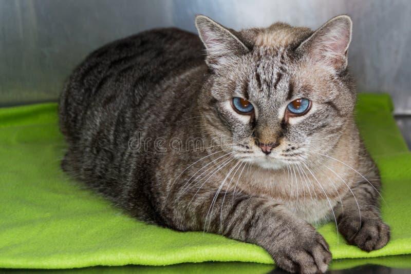 Gatto obeso alla clinica veterinaria nella gabbia metallica fotografie stock libere da diritti