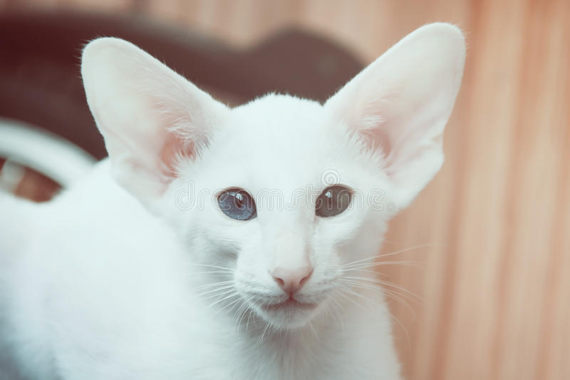 Gatto orientale bianco con gli occhi dei colori differenti - Immagine del gatto a colori ...