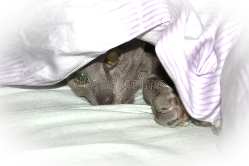 Gatto orientale lilla del liscio-cappotto adorabile che riposa sotto la coperta immagini stock