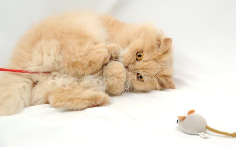 Gatto persiano fotografia stock libera da diritti