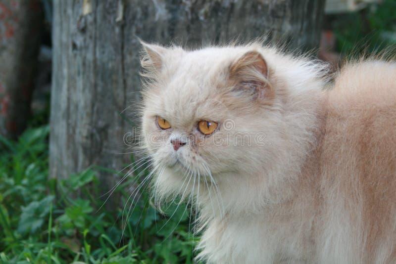 Gatto persiano illustrazione di stock