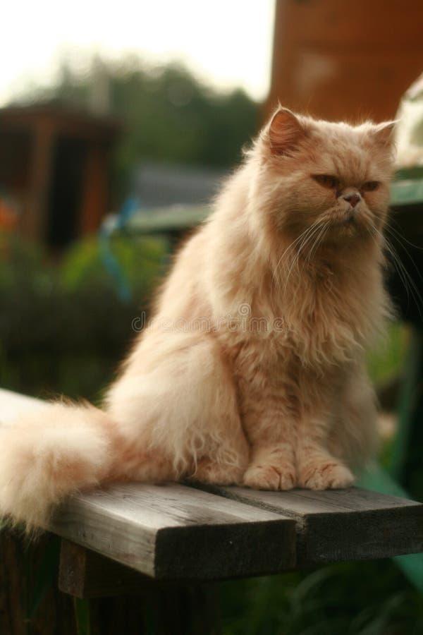 Gatto persiano illustrazione vettoriale