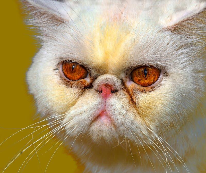 Gatto persiano arrabbiato immagine stock