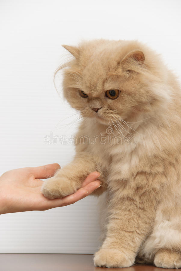 Gatto persiano che mostra buon comportamento fotografia stock