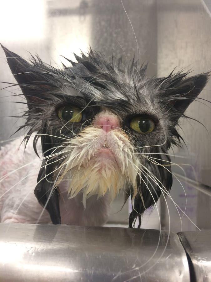 Gatto persiano che ottiene un bagno in un gatto bagnato grigio del gatto scontroso degli occhi di gatto della vasca fotografie stock