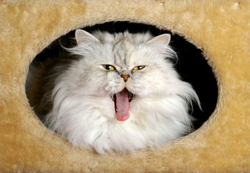 Gatto persiano che sbadiglia fotografie stock