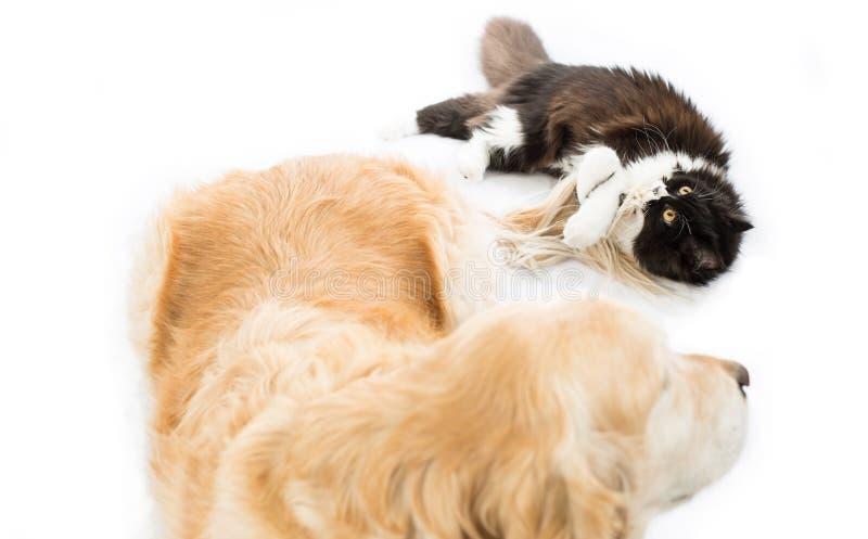 Gatto persiano con un cane fotografia stock