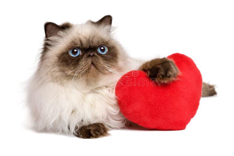 Gatto persiano del colourpoint del biglietto di S. Valentino dell'amante con un cuore rosso immagine stock