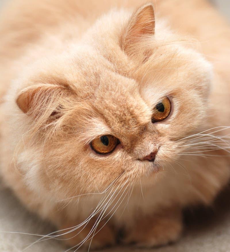 Gatto persiano del primo piano immagini stock