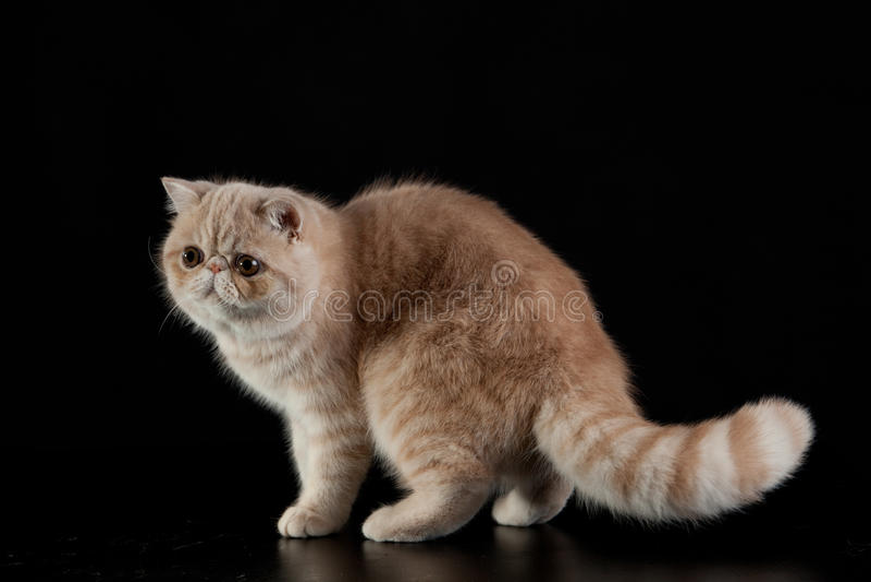 Gatto persiano esotico su fondo nero immagini stock