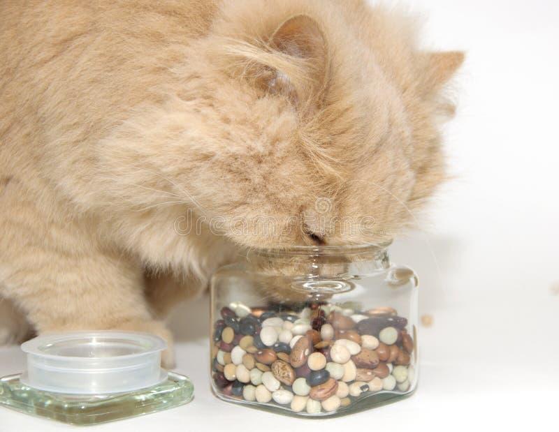 Gatto persiano a macroistruzione immagine stock