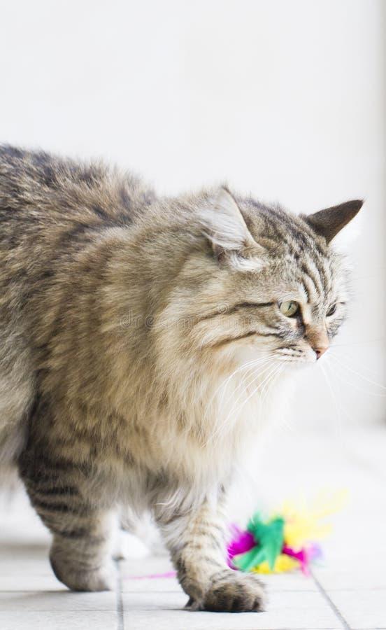 Gatto persiano nel giardino, versione marrone del soriano della b siberiana immagine stock libera da diritti