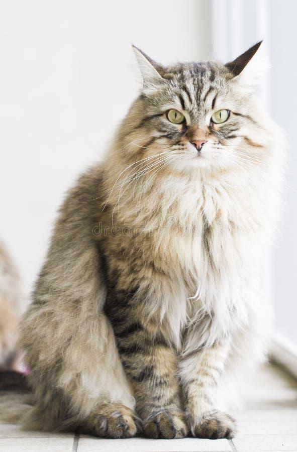 Gatto persiano nel giardino, versione marrone del soriano della b siberiana immagini stock libere da diritti
