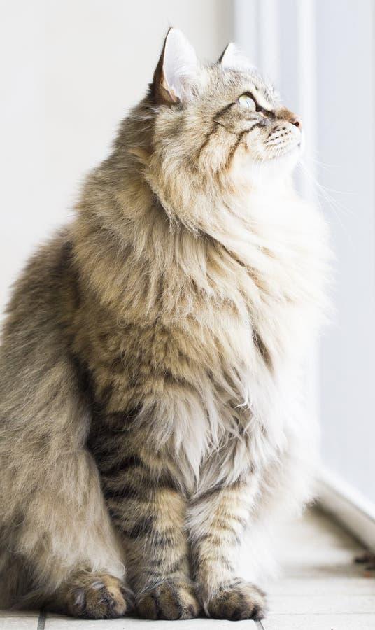 Gatto persiano nel giardino, versione marrone del soriano della b siberiana fotografie stock