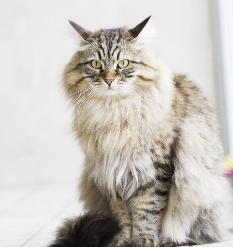 Gatto persiano nel giardino, versione marrone del soriano della b siberiana immagini stock