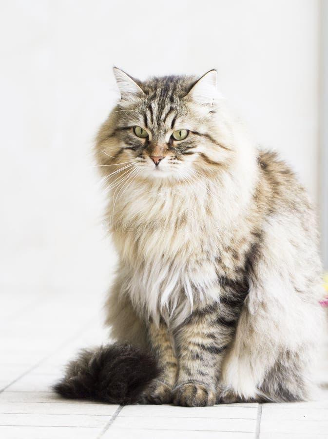 Gatto persiano nel giardino, versione marrone del soriano della b siberiana fotografia stock libera da diritti