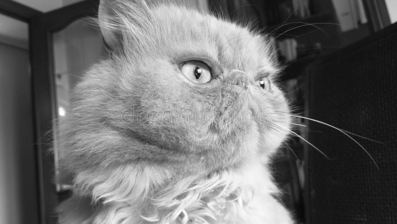 Gatto persiano nero/bianco fotografia stock libera da diritti