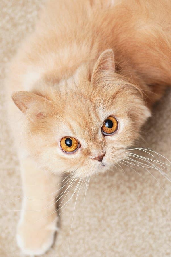 Gatto persiano sveglio del primo piano fotografia stock libera da diritti