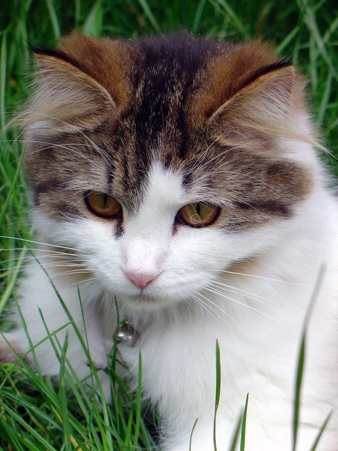 Gatto Portait del Pussy fotografia stock libera da diritti