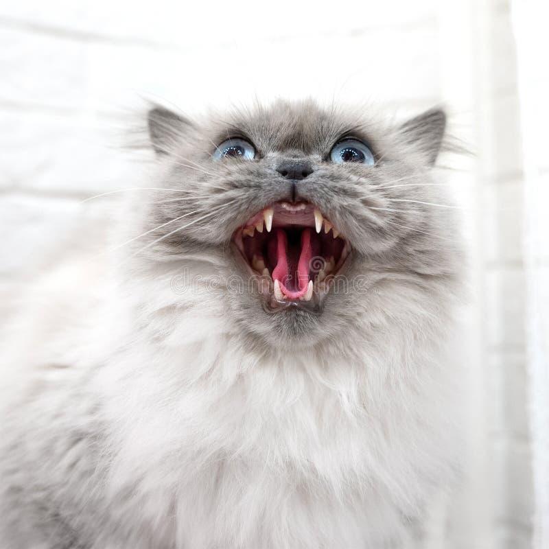 Gatto rabbioso con occhi azzurri che alza le porte su fondo bianco fotografia stock