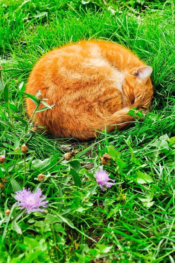 Gatto rosso che dorme nel giardino fotografia stock