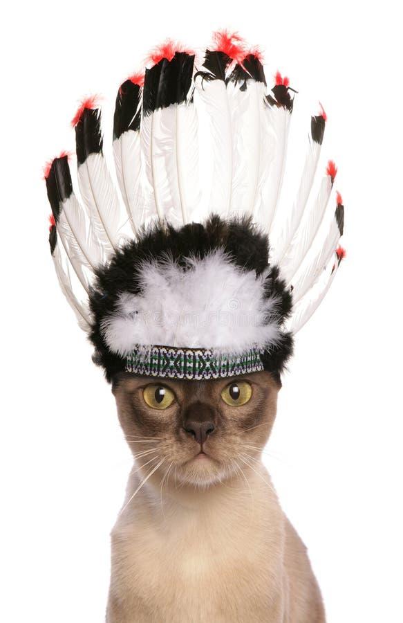 Gatto rosso dell'adulto del capo indiano fotografia stock