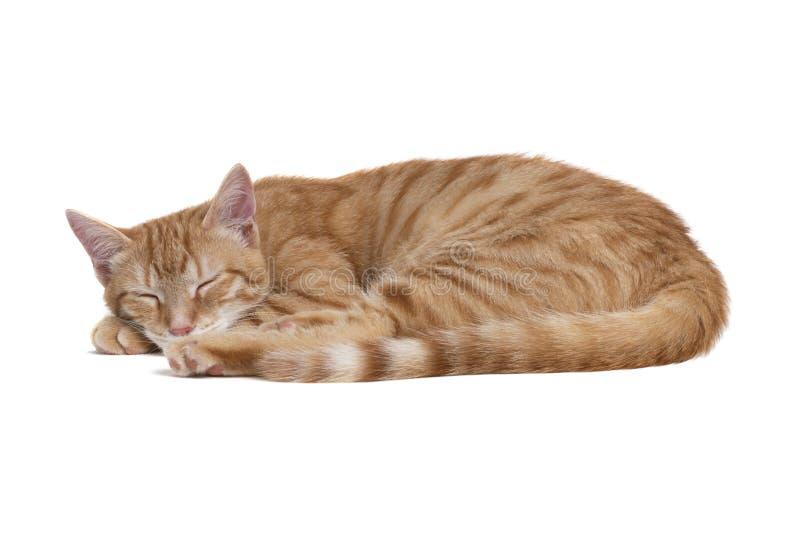 Gatto rosso di sonno su fondo bianco immagine stock