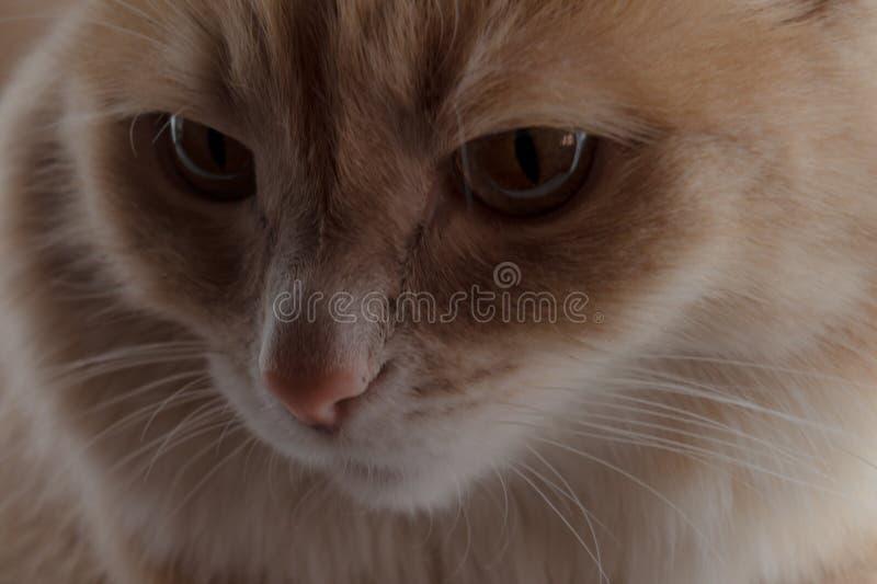Gatto rosso domestico Ritratto di un gatto lanuginoso immagini stock
