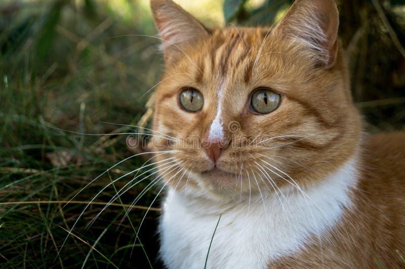 Gatto rosso gonfio fra l'erba immagini stock