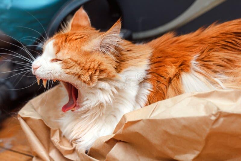 Gatto rosso grazioso adulto di sbadiglio fotografia stock libera da diritti