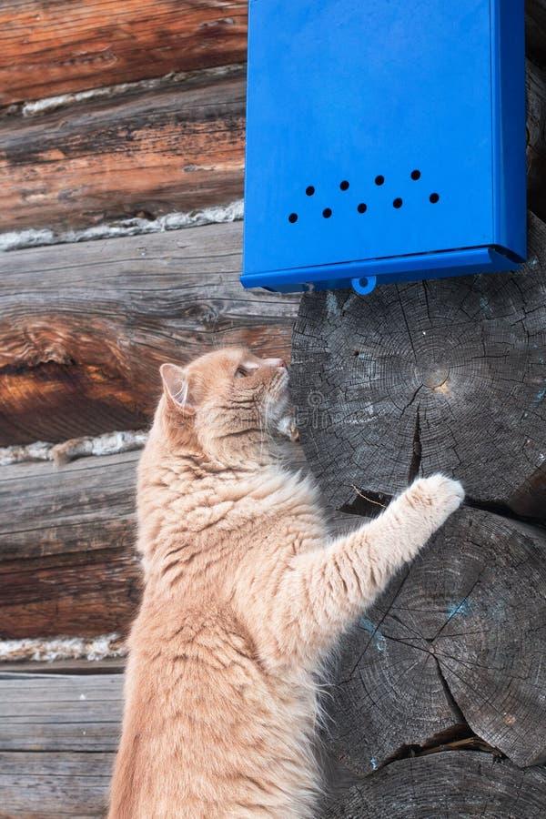 Gatto rosso piacevole che aspetta la lettera sotto la cassetta delle lettere blu luminosa sui precedenti della parete di legno immagine stock libera da diritti