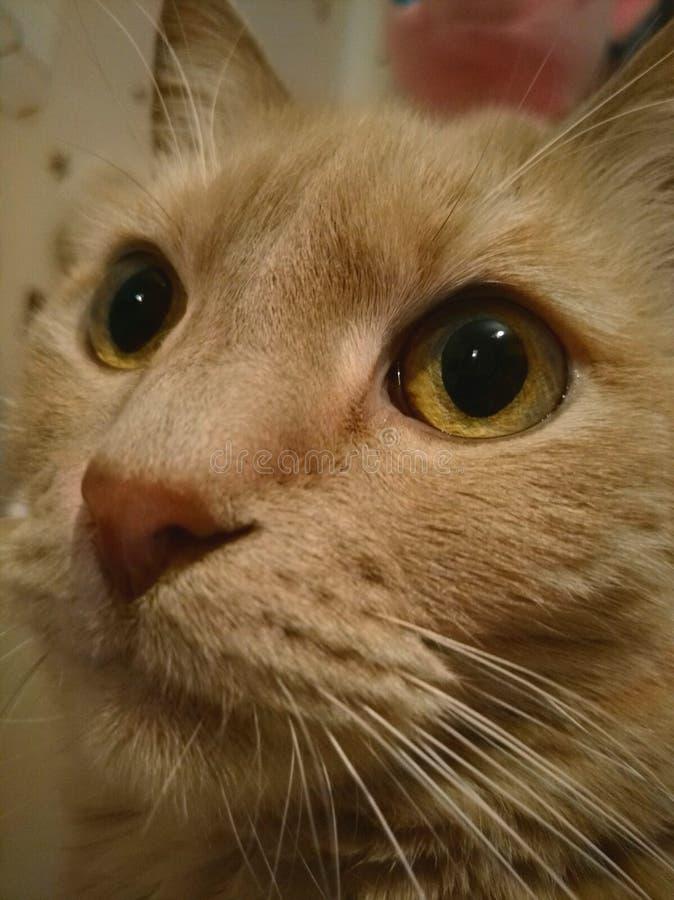 Gatto rosso serio fotografia stock