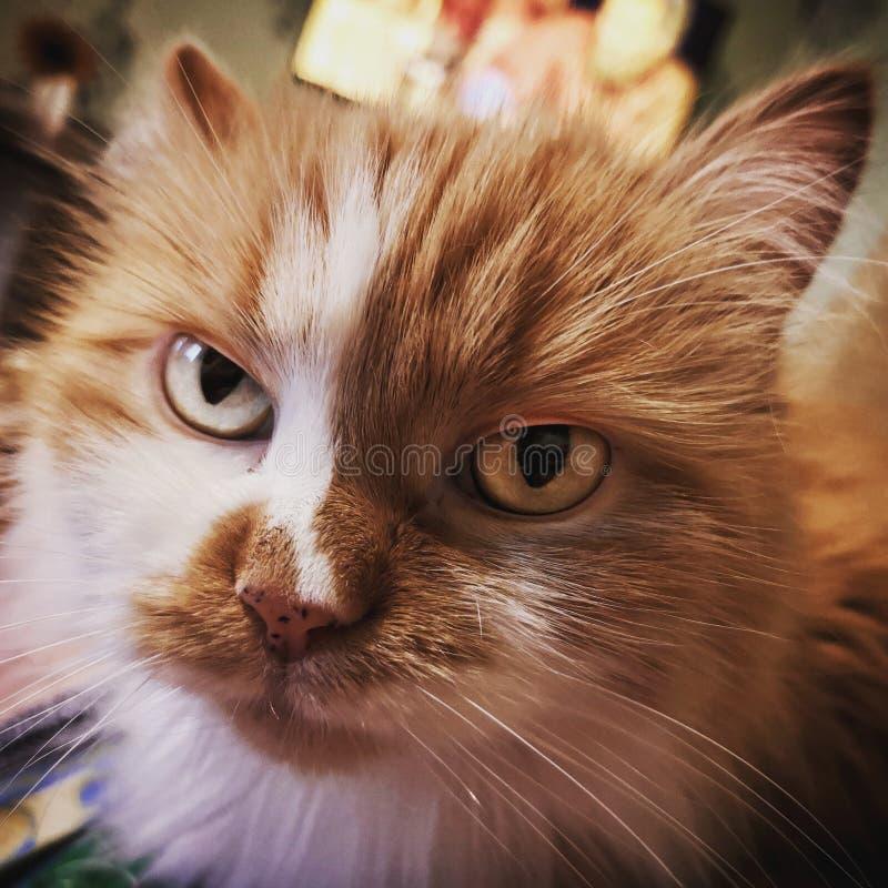 Gatto rosso severo fotografie stock