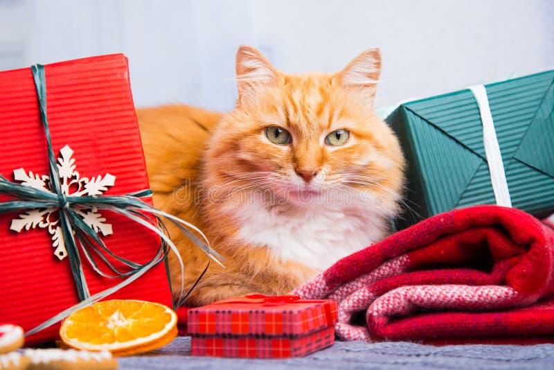 Gatto rosso simile a pelliccia sveglio con la decorazione di Natale sul plaid tricottato fotografie stock libere da diritti