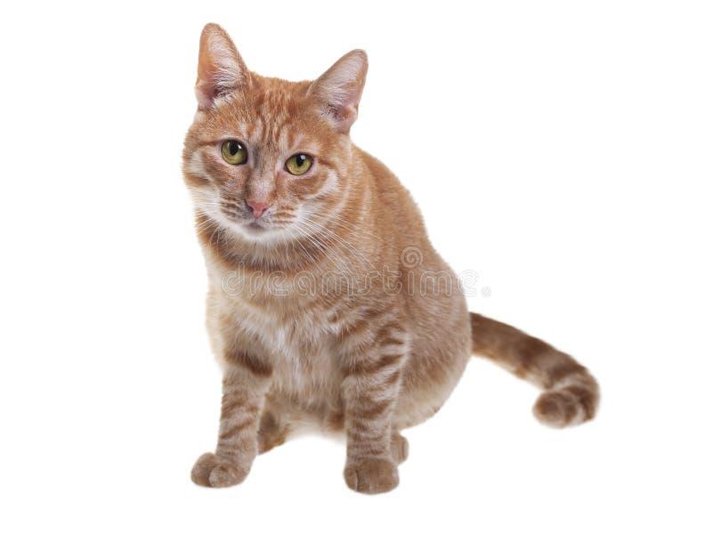 Gatto rosso su una priorit? bassa bianca fotografia stock