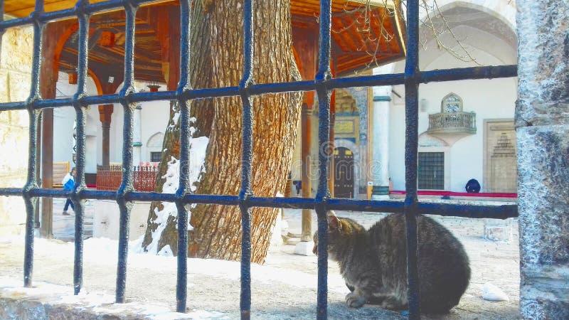 Gatto a Sarajevo in od anteriore la moschea durante l'inverno fotografia stock libera da diritti