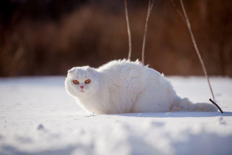 Gatto scozzese del popolare, ritratto nel campo di inverno immagine stock libera da diritti