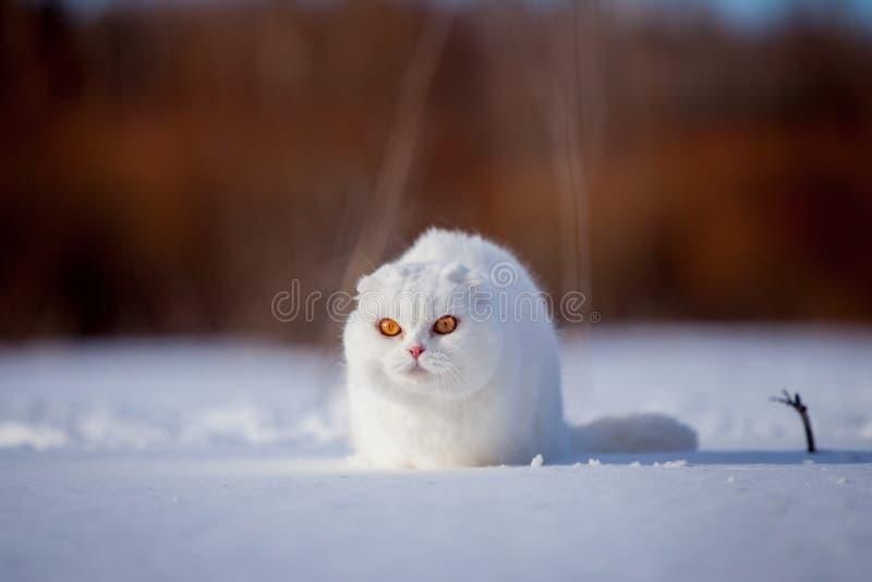 Gatto scozzese del popolare, ritratto nel campo di inverno fotografia stock