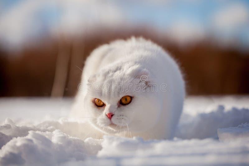 Gatto scozzese del popolare, ritratto nel campo di inverno immagine stock