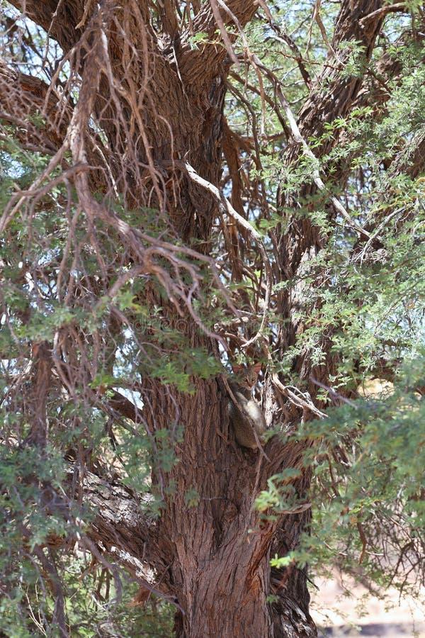 Gatto selvaggio africano nell'albero immagini stock libere da diritti