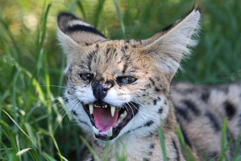 Gatto selvaggio del Serval arrabbiato fotografie stock libere da diritti