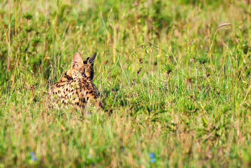 Gatto selvaggio del Serval nella savana di Serengeti immagini stock