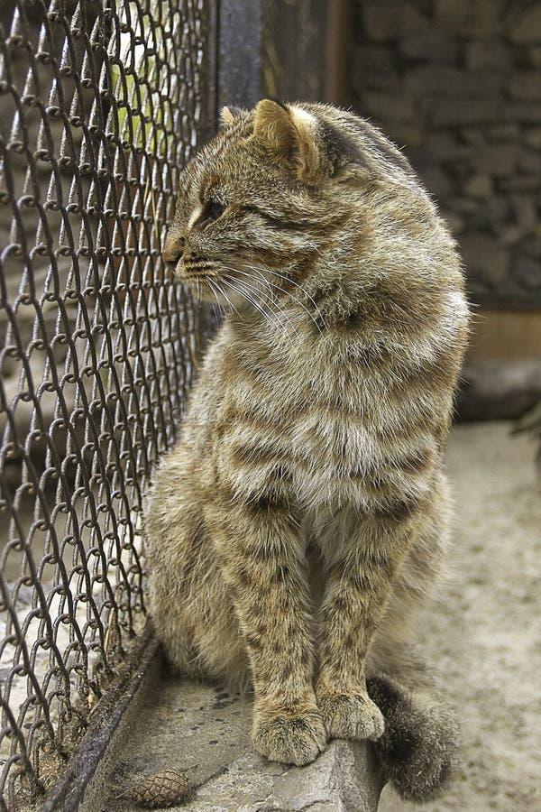 Gatto selvaggio nel giardino zoologico immagine stock libera da diritti