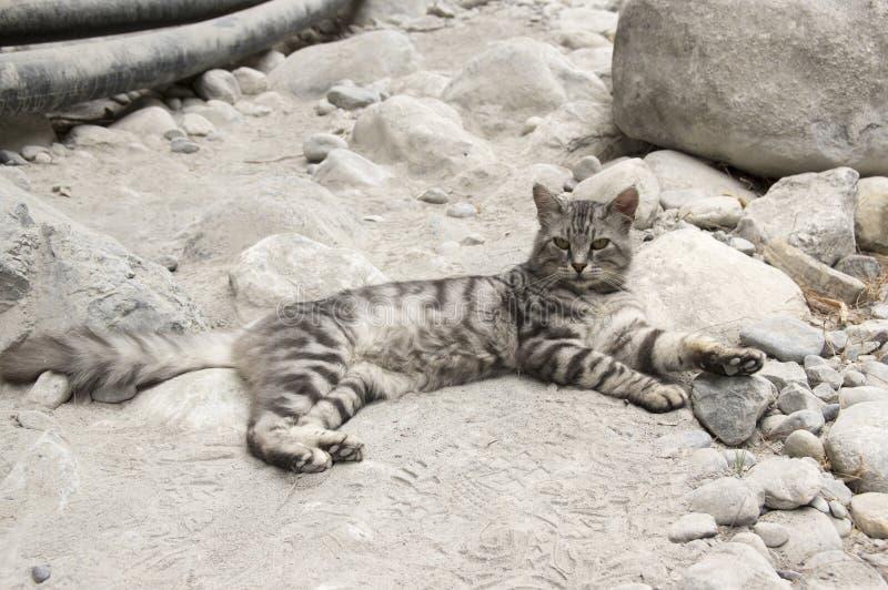 Gatto selvatico europeo con pelliccia di marmo d'argento, bello gatto sulle pietre rocciose nella gola di Samaria, isola di Creta fotografie stock