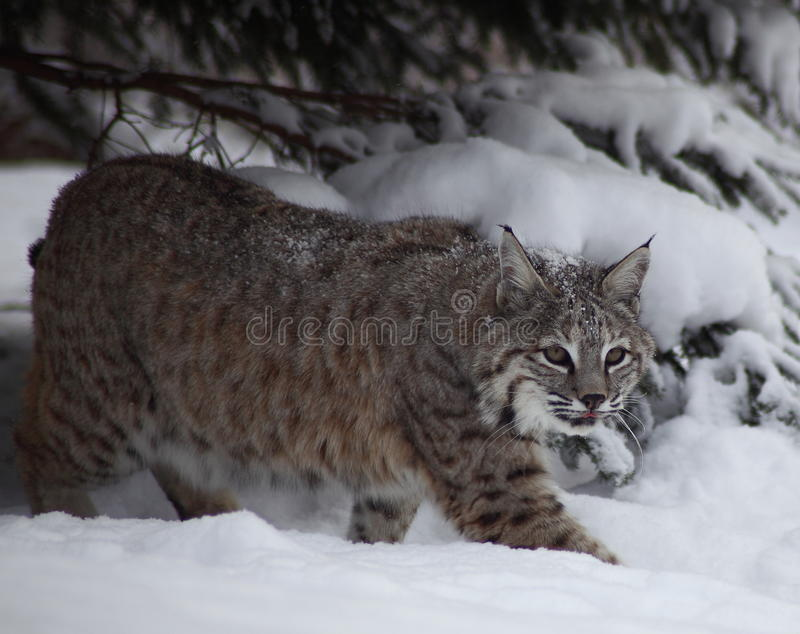 Gatto selvatico in neve fotografia stock libera da diritti