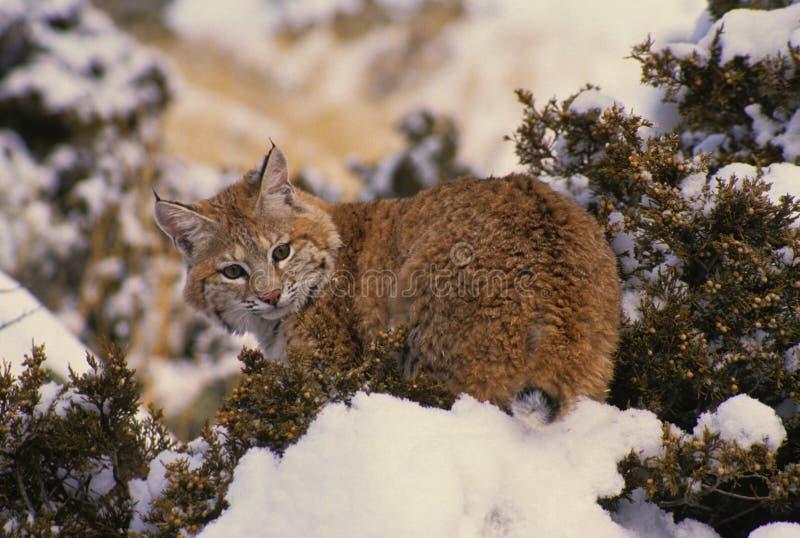 Gatto Selvatico Su Cedro Innevato Fotografia Stock